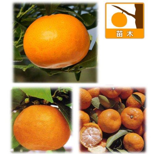柑橘人気3種セット(南津海・せとか・小みかん)[家庭果樹とし...
