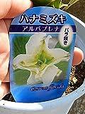 ハナミズキ 白色の めずらしいバラ咲き アルバプレナ花水木