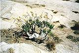 パキポディウム ロスラーツム 種子10粒