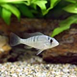 (熱帯魚)ギムノゲオファーガス・ラビアータス Sサイズ(1匹) 本州・四国限定[生体]