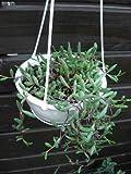 多肉植物 オトンナ属 ルビーネックレス 5号吊鉢