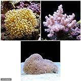 (海水魚 サンゴ)飼育しやすいサンゴセットA 本州・四国限定[生体]
