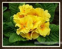 5:100ピース/バッグ100%トゥルーヨーロッパプリムラアカウリス種子、プリムローズレア盆栽フラワーシード用ホームガーデン屋内盆栽植物