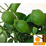 レモン:ビアフランカ4~5号ポット[とげが少ない 柑橘・かんきつ類苗木] ノーブランド品