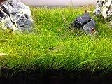 ショートヘアーグラス 1cm 1束 無農薬 前景草
