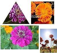マルチカラー:100種/パック、紫百日草の種毎年恒例の若くて古い年齢の美しい花の種