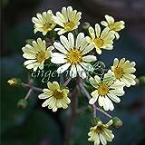 ツワブキ:白花ツワブキ3号ポット[つわぶきの珍しい白花人気品種]