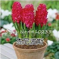 盆栽100個カラフルなヒヤシンス盆栽多年生ヒアシントフラワー屋内植物は簡単に鉢植えで育つ盆栽植物またはホーム&庭:私