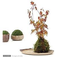 (盆栽/苔)私の小さな日本庭園 ~益子焼と苔玉盆栽 もみじ~