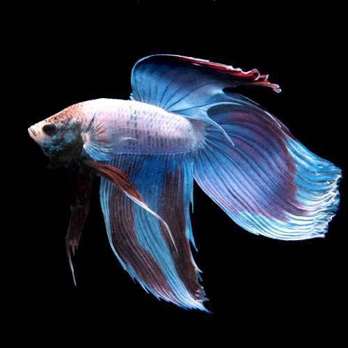 (熱帯魚) ベタ・トラディショナル マルチカラー(オス)(1匹) 本州・四国限定[生体]