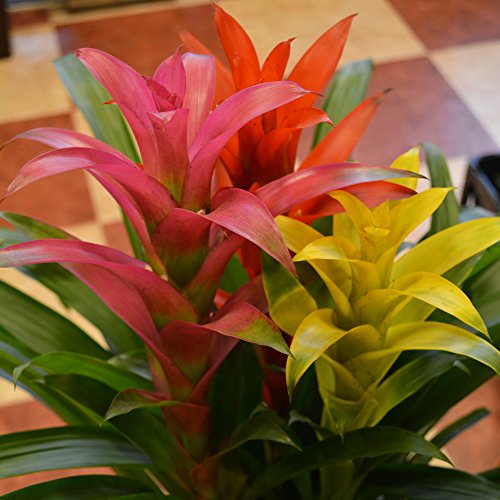 観葉植物 グズマニア 高さ:70cm