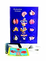 American Educational Endocrine System Model Activity Set 【You&Me】 [並行輸入品]