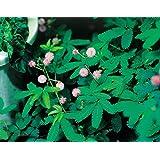 花の種 おじぎ草(オジギソウ)の種 生育の早い早生タイプ 癒しの植物の決定版!
