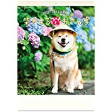 新日本カレンダー 2022年 カレンダー 壁掛け 柴犬まるとおさんぽカレンダー NK35 壁掛(53.5×38cm)