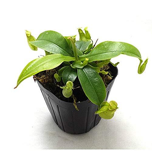 食虫植物 ネペンテス フーケリアナ 3号ポット苗 フーケリー