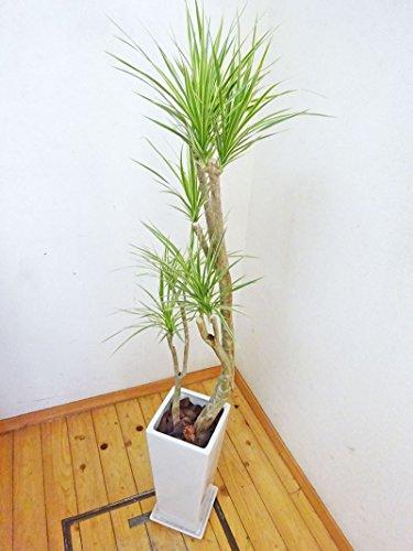 【送料無料】スクエア陶器鉢仕立てのお洒落なコンシンネ・ホワイボリー/120cm前後(8号)