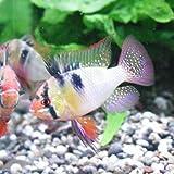 熱帯魚 ミクロゲオフォーガス ラミレジィ ドイツ XL [1Pr]