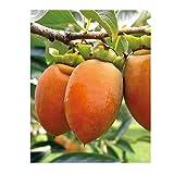果樹苗 甘柿 筆柿 ( ふでかき ) 1年生苗