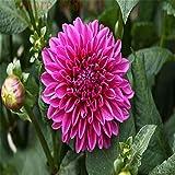 7:100本のコスモスは花、庭の植栽に適した美しい、美しい盆栽、明るい花を鉢植え