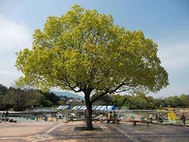 【6か月枯れ保証】【街路樹&公園樹】クスノキ 1.0m
