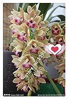 種子パッケージ: マルチカラー:21色100のシンビジウムの種、レアシーズンズ盆栽の蘭の種子、鉢植え、家庭用の花&ガーデン