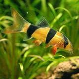 (熱帯魚)クラウンローチ(1匹) 本州・四国限定[生体]