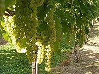 きれいな、光、ニュートラル辛口のワインを作ります。大規模なクラスタと白ワインのハイブリッド。非常に活発で生産的。 -5度ハーディ。遅咲き。ミッドシーズンを熟します。バンチ腐敗に対する良好な耐性。