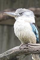 Blue-winged Kookaburra Kingfisher Bird Lined Journal
