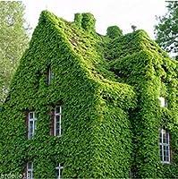 バルククライミングつるウッドバイングレープボストンアイビー種子日本ツタ種子庭の装飾植物40ピースw98