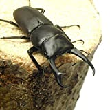 (昆虫) 国産コクワガタ 成虫 サイズフリー(1ペア) 本州・四国限定[生体]