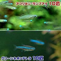 (熱帯魚)アフリカン・ランプアイ Sサイズ(10匹) + グリーンネオンテトラ(10匹)(計20匹) 北海道・九州・沖縄航空便要保温