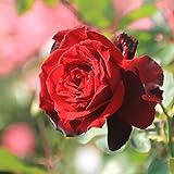 バラ苗 ドンファン 国産大苗6号スリット鉢 つるバラ(CL) 四季咲き 赤系