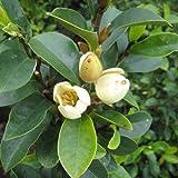 カラタネオガタマ:黄(白)花樹高0.6m 根巻き