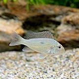 (熱帯魚)ゲオファーガスsp.ピンダレ Sサイズ(3匹) 本州・四国限定[生体]