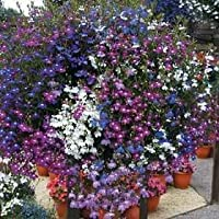 PLAT会社-SEEDS 200混合色ロベリアレガッタルリミゾカクシ花の種