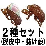 脱皮 蝉 夏の思い出 ノンフライ-アブラゼミ 【2種セット[セミ(脱皮中)・セミの抜け殻]】