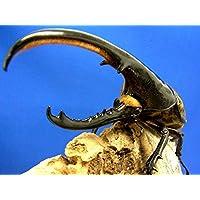 ヘラクレスヘラクレス3令幼虫ペア+今ならカブトムシ専用マット10L1袋付