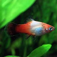 (熱帯魚)昭和プラティー (約3cm)<4匹>[生体]