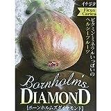 イチジク:ボーンホルムズダイヤモンド5号ポット[非常に耐寒性の強い品種][苗木] ノーブランド品
