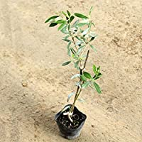 オリーブ シュプレッチーノ 樹高30~50cm前後 (チプレッシーノ) (シプレッシーノ)