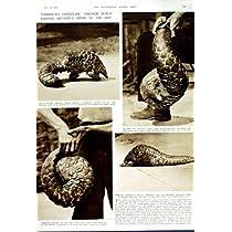 1949 年の Temminck のセンザンコウの動物園のロンドンイギリスのアリクイ
