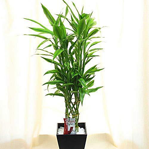 観葉植物 ミリオンバンブー・ラッキーバンブー 6号