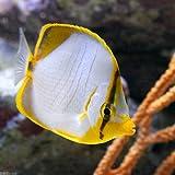 (海水魚)サントスバタフライ(1匹) チョウチョウウオ 本州・四国限定[生体]