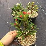 多肉植物:ユーフォルビア ハナキリン