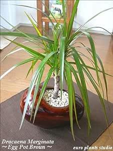 Dracaena Marginata / Egg Pot White or Brown / 真実の木★ドラセナ・コンシンネ / エッグポット・ホワイトorブラウン / インテリア観葉植物 / 鉢植え