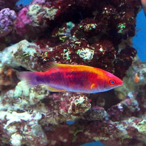 (海水魚)バリ産 ラボックスラス(1匹) 本州・四国限定[生体]