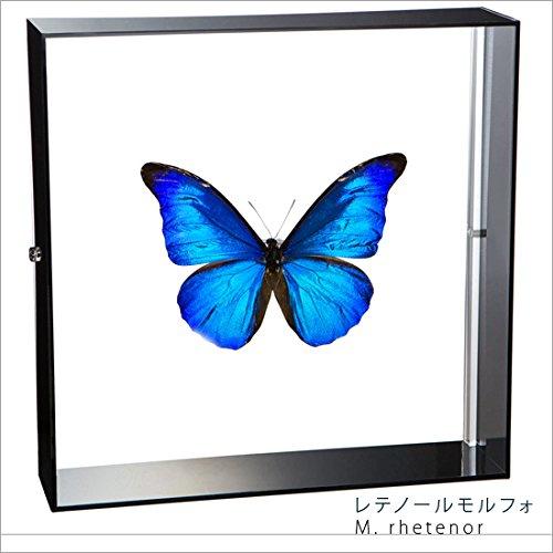 蝶の標本 レテノールモルフォ Morpho rhetenor モルフォチョウ アクリルフレーム 黒