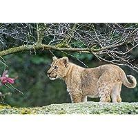 奇妙なかわいいライオンの子牛の岩動物 - #51438 - キャンバス印刷アートポスター 写真 部屋インテリア絵画 ポスター 90cmx60cm