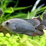 (熱帯魚)オスカー コロンビア Sサイズ(ワイルド)(1匹) 本州・四国限定[生体]