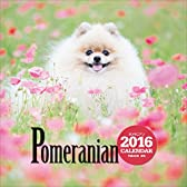 ポメラニアン(2016年大判カレンダー) ([カレンダー])